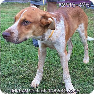 American Staffordshire Terrier Mix Dog for adoption in Bonham, Texas - 2016-476