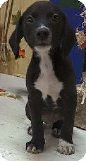 Border Collie/Labrador Retriever Mix Puppy for adoption in Pompton Lakes, New Jersey - Border Collie/ Lab X Pup