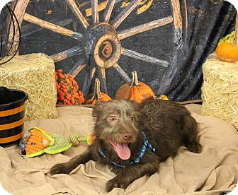 Wirehaired Fox Terrier/Yorkie, Yorkshire Terrier Mix Puppy for adoption in Lakeville, Minnesota - Gryffindor