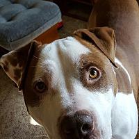 Adopt A Pet :: Copper - Ypsilanti, MI