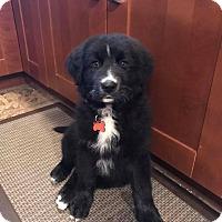 Adopt A Pet :: Clifford - Pitt Meadows, BC