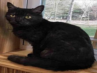 Domestic Mediumhair Cat for adoption in Canfield, Ohio - PUMA THURMAN