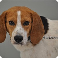 Treeing Walker Coonhound Mix Dog for adoption in Osage Beach, Missouri - Scooter