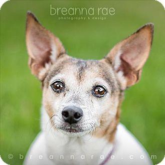 Rat Terrier Mix Dog for adoption in Sheboygan, Wisconsin - Tinker