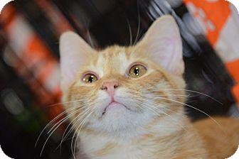 Domestic Shorthair Cat for adoption in Harrisburg, North Carolina - Erique