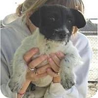Adopt A Pet :: Sassy - Seattle, WA