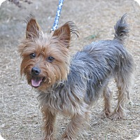 Adopt A Pet :: Morkie - Tumwater, WA