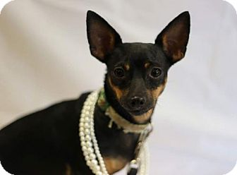 Chihuahua Mix Dog for adoption in Fort Worth, Texas - Bella
