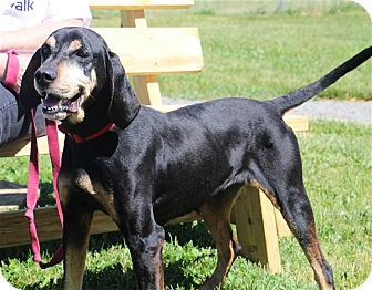 Black and Tan Coonhound Mix Dog for adoption in Elyria, Ohio - Daisy