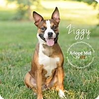 Adopt A Pet :: Ziggy - Topeka, KS