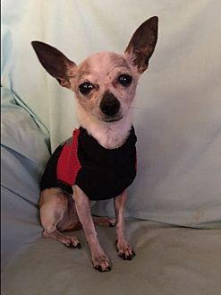 Chihuahua Mix Dog for adoption in Indianapolis, Indiana - Isabella/Izzi