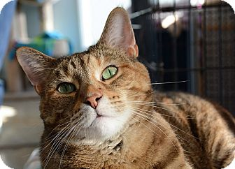 Domestic Shorthair Cat for adoption in Chicago, Illinois - Tiggy