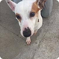 Adopt A Pet :: Spud - Brea, CA