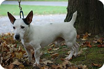 Jack Russell Terrier Dog for adoption in Rhinebeck, New York - Roscoe