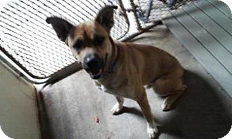 German Shepherd Dog Mix Dog for adoption in Attica, Indiana - Blade