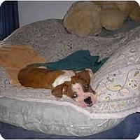 Adopt A Pet :: Pongo - Savannah, GA