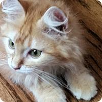 Adopt A Pet :: Ambrose - Davis, CA