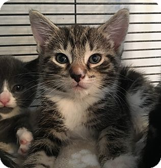 Domestic Shorthair Kitten for adoption in Wayne, New Jersey - Ramona