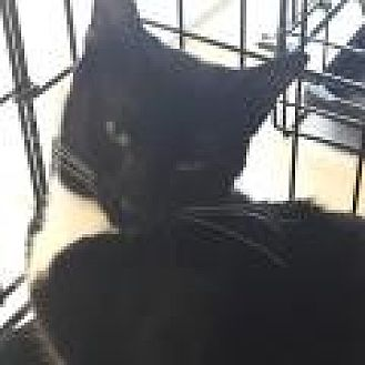 Domestic Shorthair Cat for adoption in Stafford, Virginia - Prinee