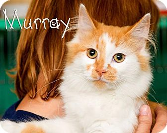 Domestic Longhair Cat for adoption in Somerset, Pennsylvania - Murray