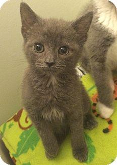 Domestic Mediumhair Kitten for adoption in Plainville, Connecticut - Mira