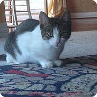 Adopt A Pet :: Little Bit - Bentonville, AR