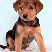 Adopt A Pet :: Noelle - Waldorf, MD