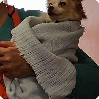 Adopt A Pet :: GIDGET - Gustine, CA