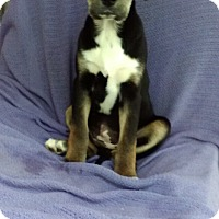 Adopt A Pet :: Julie in CT - Manchester, CT