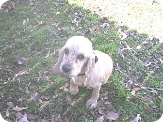 Cocker Spaniel Dog for adoption in Kannapolis, North Carolina - Buffy  -Blonde Girl/Adopted!