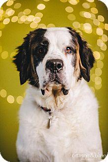 St. Bernard Dog for adoption in Portland, Oregon - Shiloh
