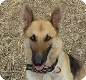 German Shepherd Dog Dog for adoption in Antioch, Illinois - Shelly ADOPTEDF!!