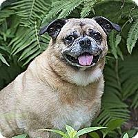 Adopt A Pet :: Ivy - Plano, TX