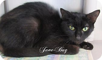Domestic Shorthair Cat for adoption in Jackson, New Jersey - June Bug