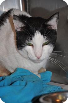 Domestic Shorthair Cat for adoption in Northbrook, Illinois - Nickolas