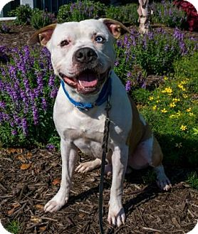 American Pit Bull Terrier Mix Dog for adoption in Gloucester, Virginia - BREWSTER