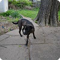 Adopt A Pet :: Sheba - Manhattan, KS