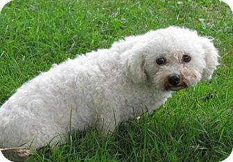 Bichon Frise Mix Dog for adoption in Homer, New York - Brittany