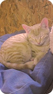 American Shorthair Cat for adoption in Acworth, Georgia - Jefferson aka Jeffy