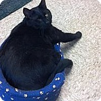 Adopt A Pet :: Shadow - Pineville, NC