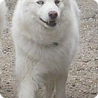 Adopt A Pet :: A'sa - Arvada, CO