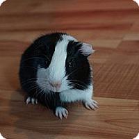 Adopt A Pet :: Lyra - Brooklyn Park, MN