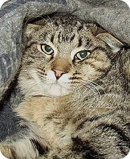 Domestic Shorthair Cat for adoption in Savannah, Missouri - Huckabee