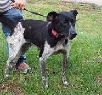 Australian Shepherd Mix Dog for adoption in Prestonsburg, Kentucky - mags