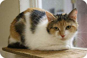 Domestic Shorthair Cat for adoption in Hartselle, Alabama - Callie
