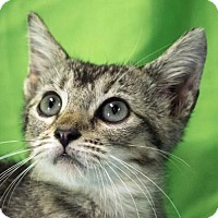 Domestic Shorthair Kitten for adoption in Austin, Texas - Parker
