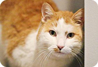 Domestic Shorthair Cat for adoption in Lincoln, Nebraska - Tommy Lee