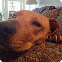 Labrador Retriever Mix Dog for adoption in Providence, Rhode Island - Ginger