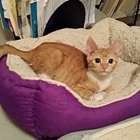 Adopt A Pet :: Mya (FCID# 11/17/16-35  Landenberg Foster) - Greenville, DE