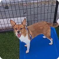Adopt A Pet :: Presley - Las Vegas, NV